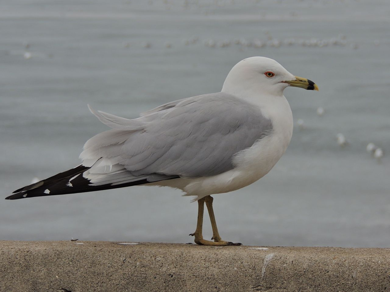 Ring-billed Gull, Tollgate ponds. 19 March 2014-3
