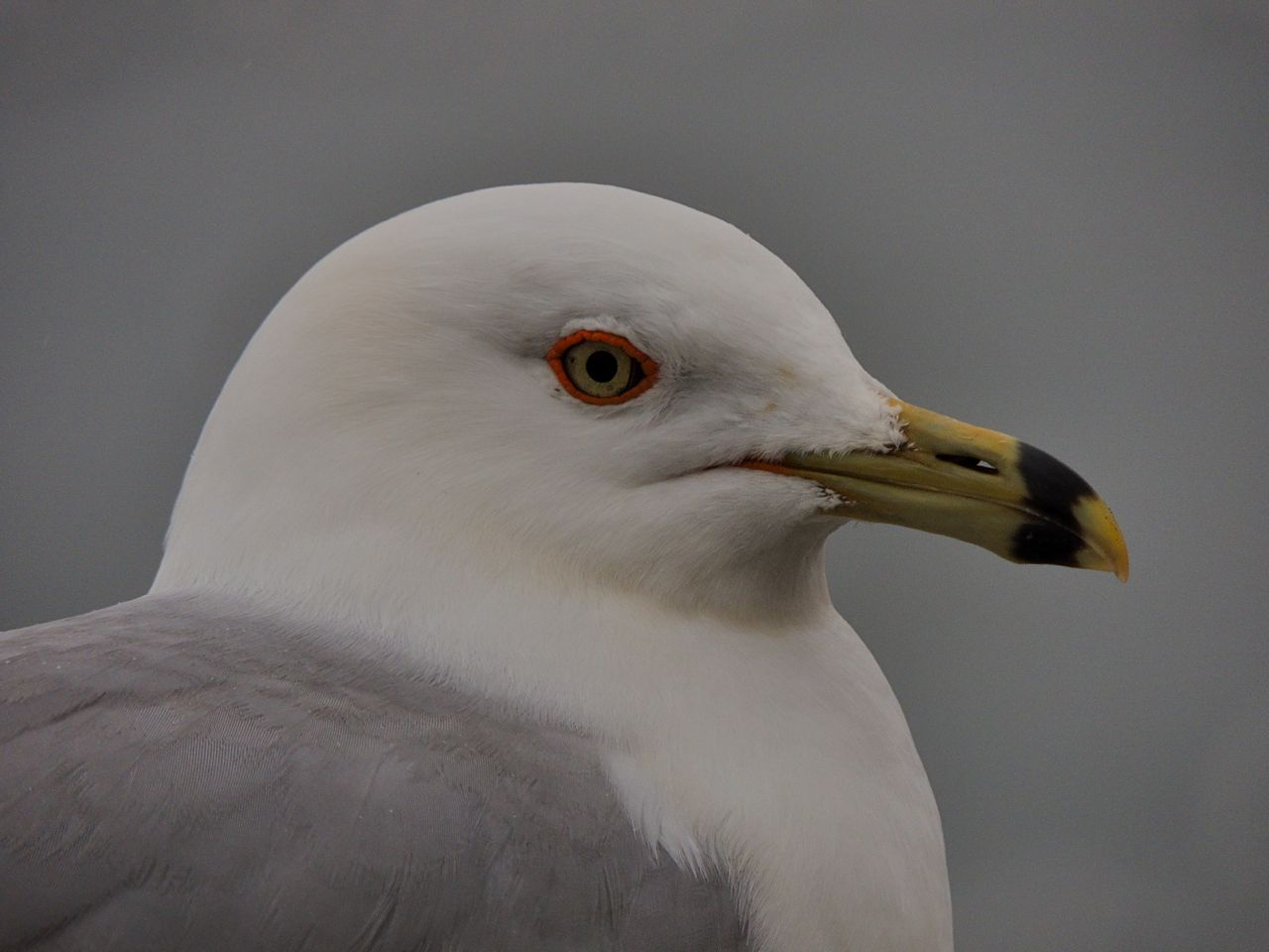 Ring-billed Gull, Tollgate ponds. 19 March 2014-4