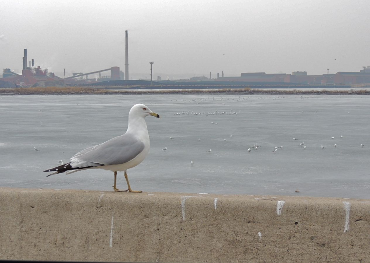 Ring-billed Gull at home with heavy industry