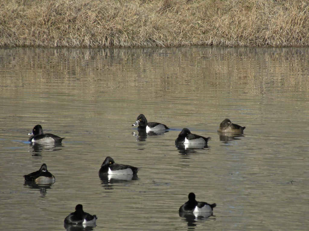 Ring-necked Ducks. Page Springs IBA.