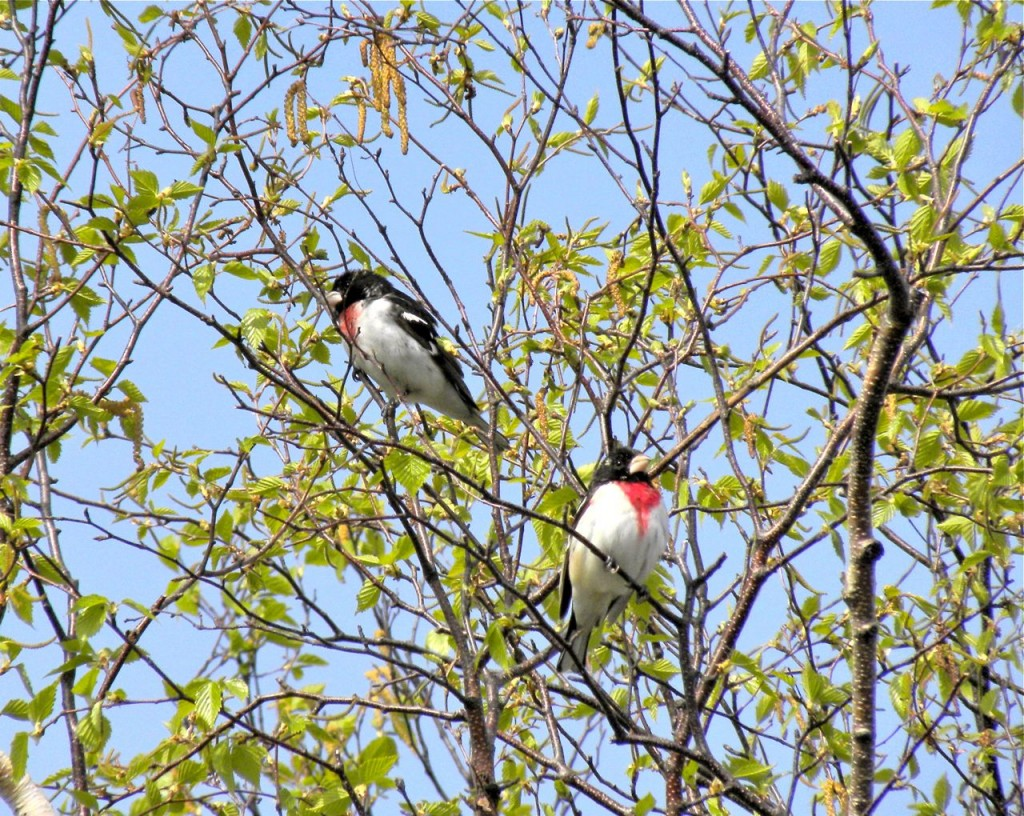 Two migrant male Rose-breasted Grosbeaks