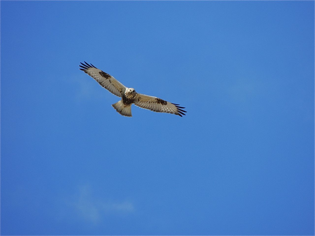 Rough-legged Hawk (juv light phase)