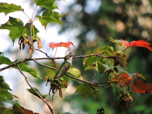 Ruby-throated Hummingbird. juv male (?)