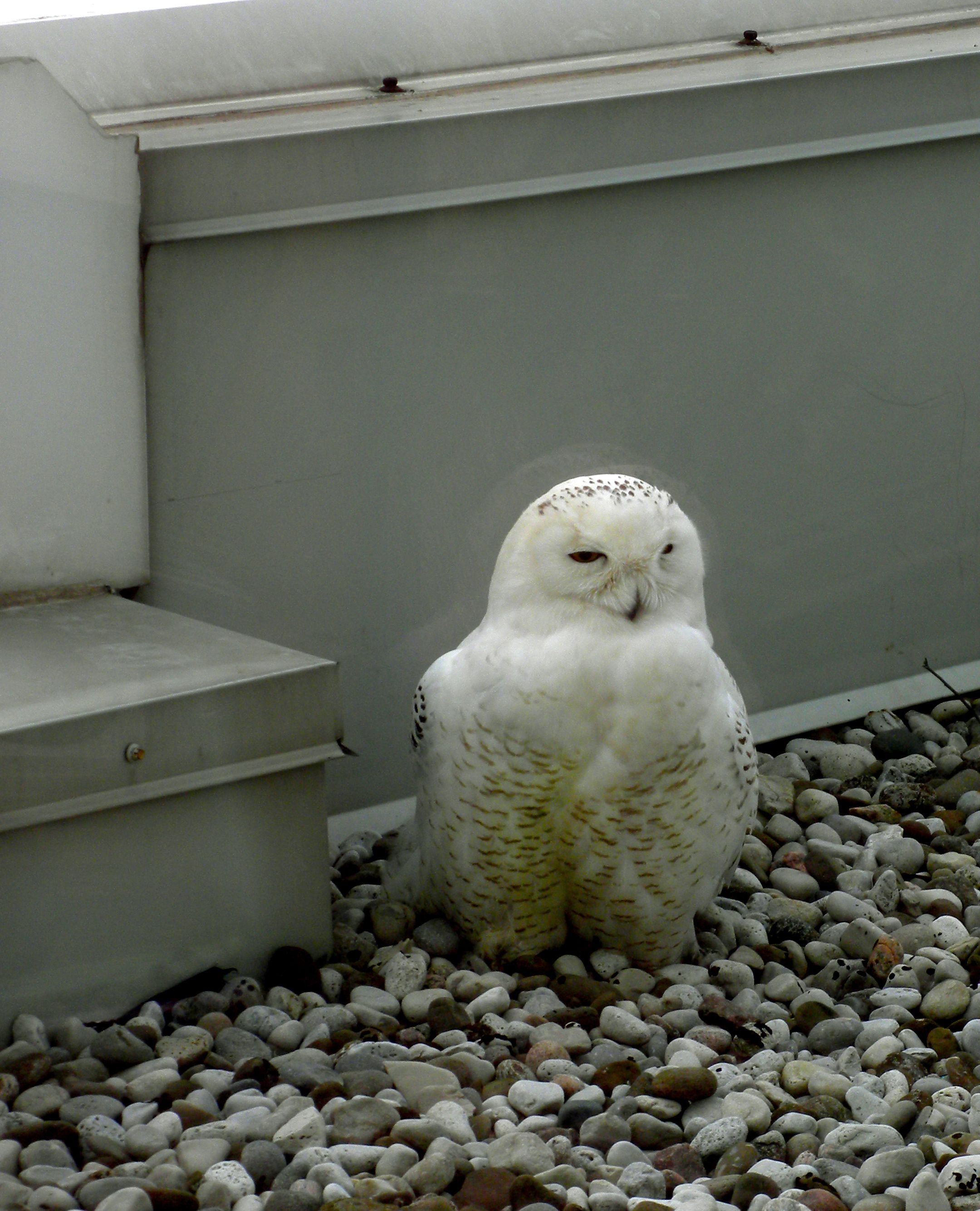 Snowy Owl on an office building window ledge. Imagine trying to concentrate on work!