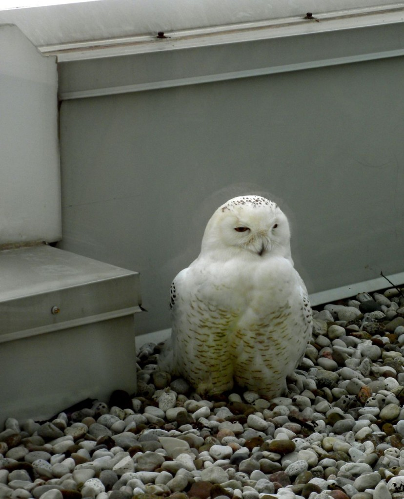 A Snowy Owl wo took up residence on the balcony of an office building in 2012