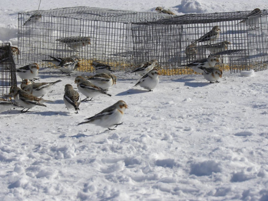 Snow Buntings at the ground traps