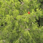 Scarlet Tanager - from a cliff edge far above