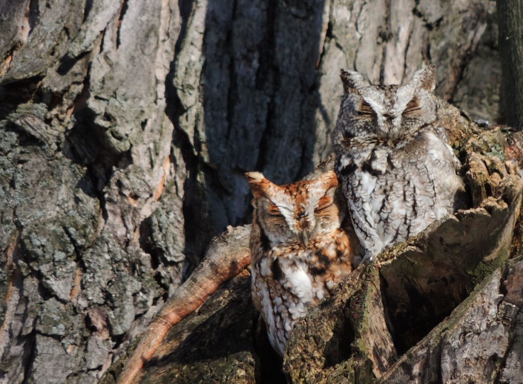Screech Owl camouflage. Here, you stand with your back to the grey bark and I'll stand by this reddish bit.  It coordinates better.