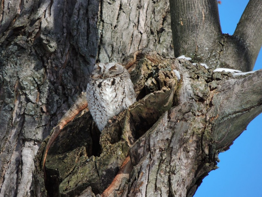 Screech Owl - grey morph. Feb 2014