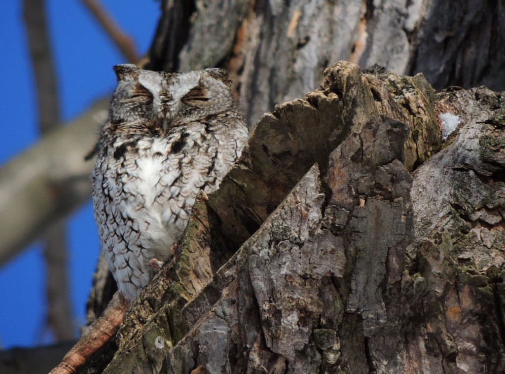 Screech Owl - grey morph. Feb 2014-2