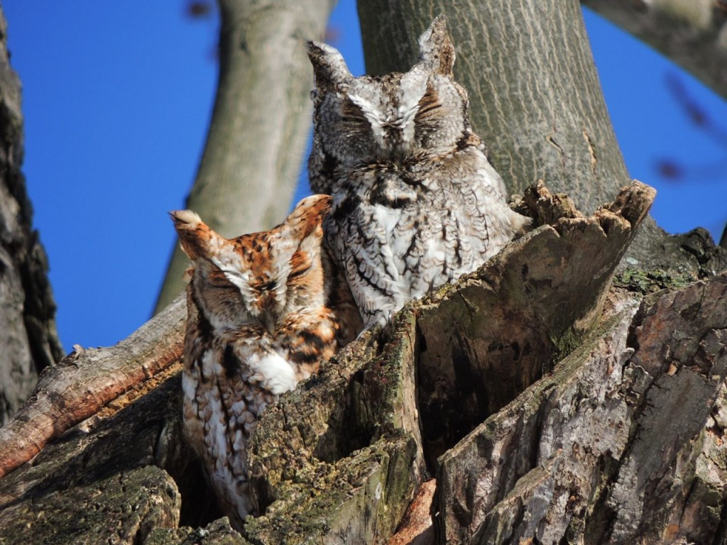 Screech Owl pair 3 Feb 2014