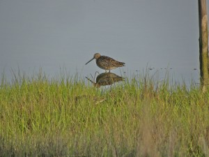 Short-billed Dowitcher2. Cape May N.J.