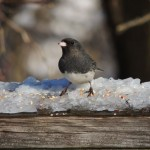 Slate-coloured Junco