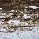 Snow Buntings and 4 Horned Larks.