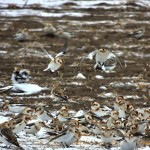 Snow Buntings coming in for food