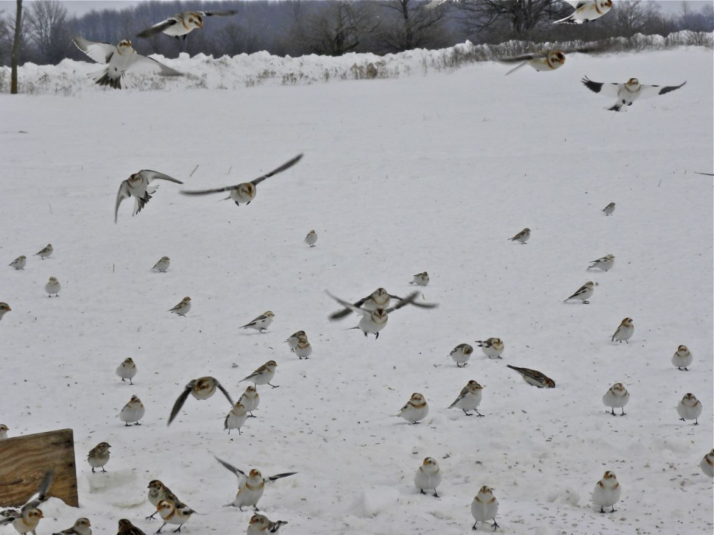 Snow Buntings coming for food