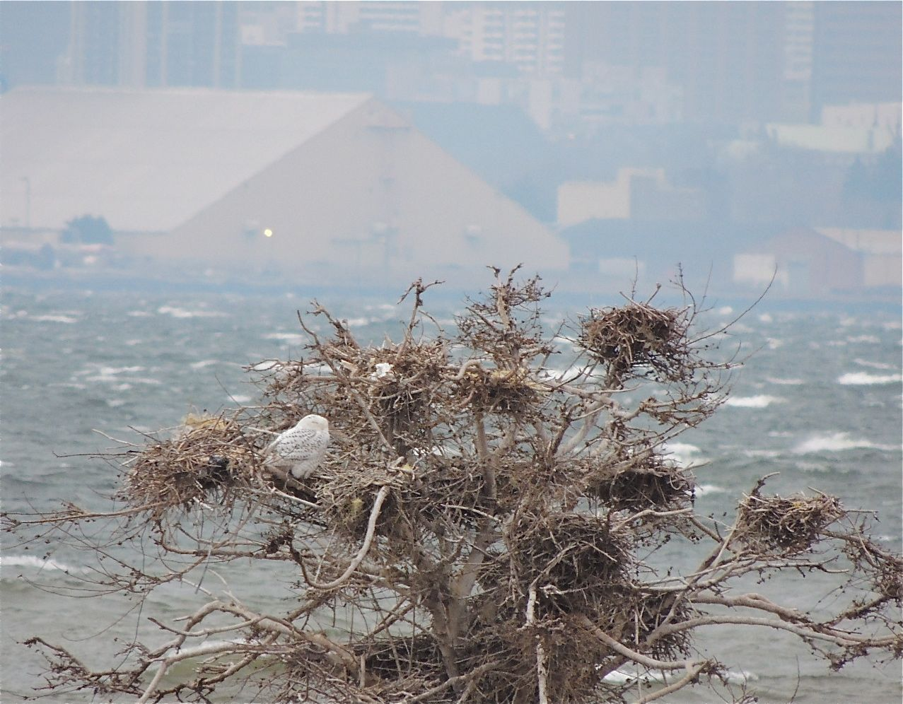 Probably a male Snowy Owl taking shelter among tangles of old cormorant nests