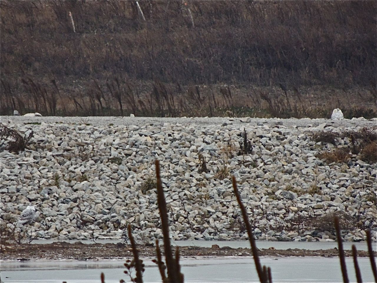 Two Snowy Owls here. One on top of the rocks at left, the other lower left and rather inconspicuously greyish