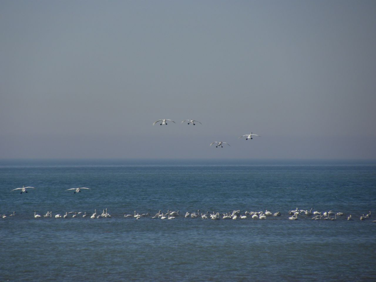 Tundra Swans arriving. Lake Erie March 17 2009