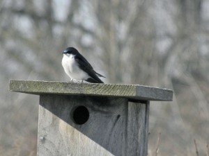 Tree Swallow, early to arrive and has already claimed a nest site