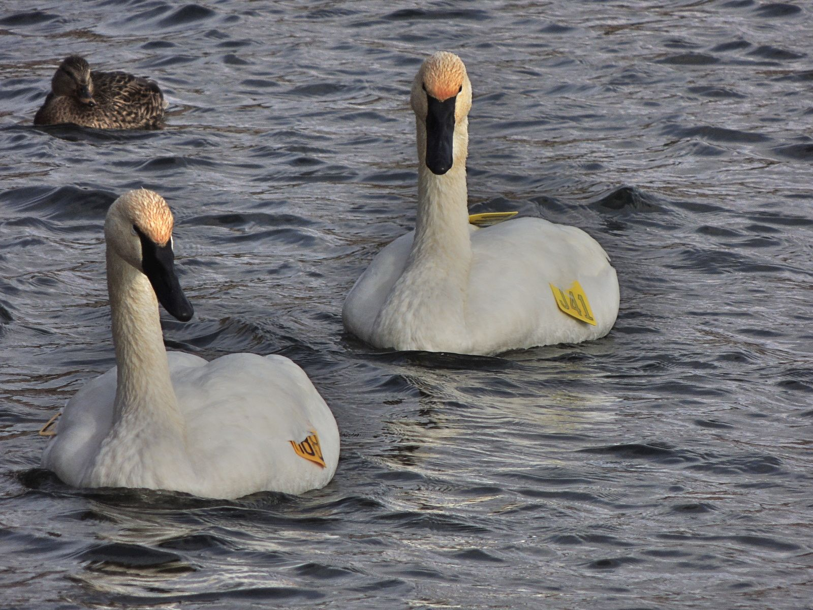 Trumpeter Swans.  Tagged - I wish they wouldn't do that.