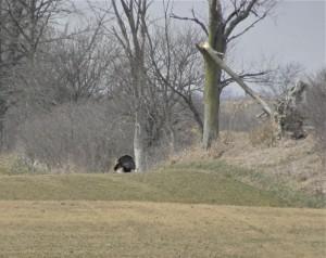 Turkey trot along the raod