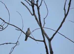 Veery in full song