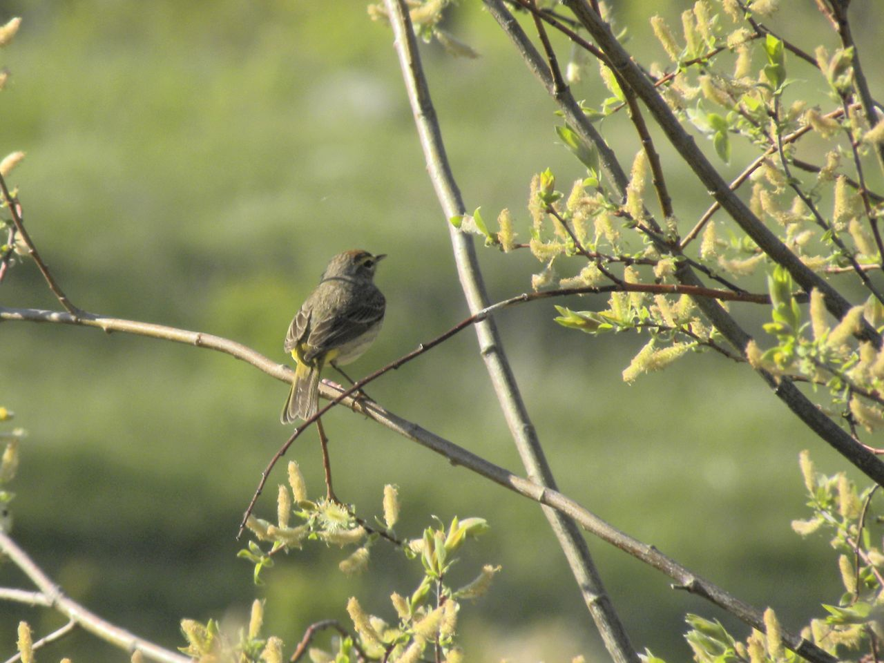 Western Palm Warbler holding still for half a second