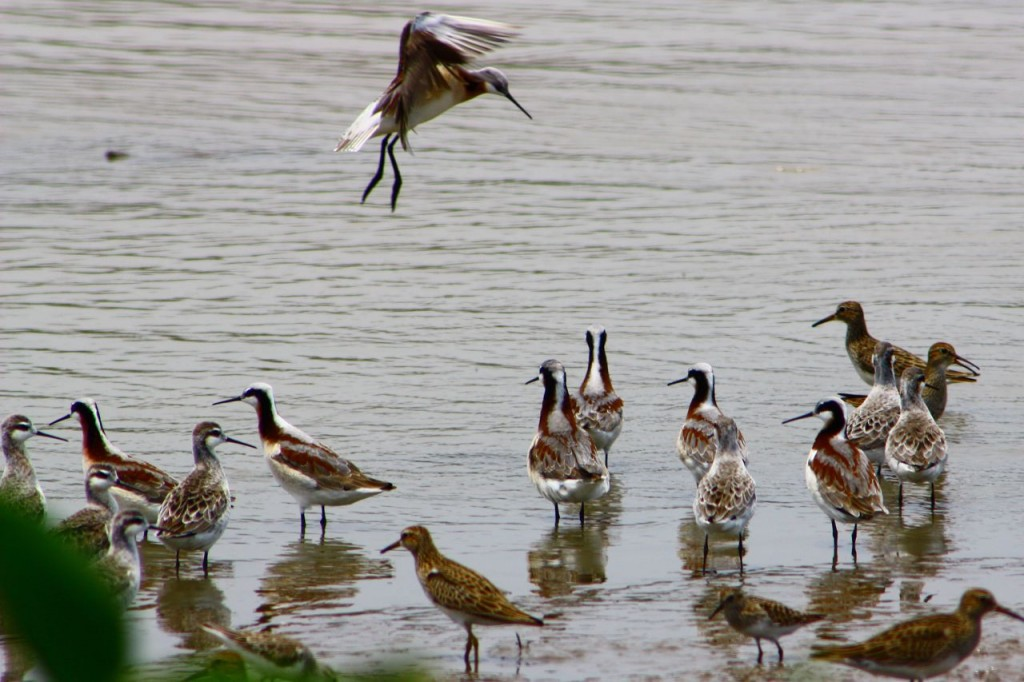 Wilsons phalaropes & Pectoral Sandpipers copyright Marvin Quintanilla